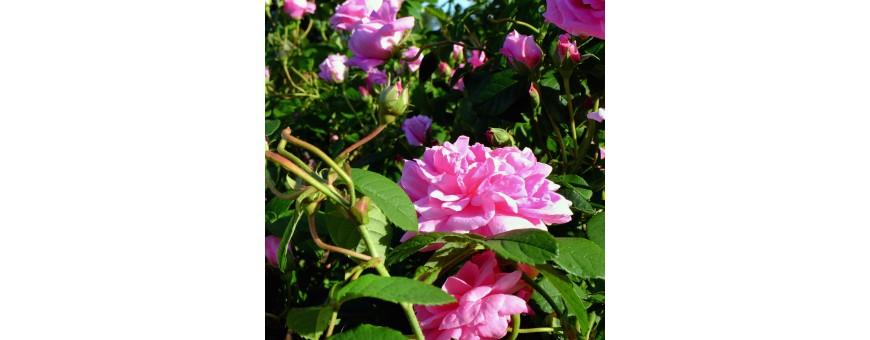 Prodotti alla Rosa